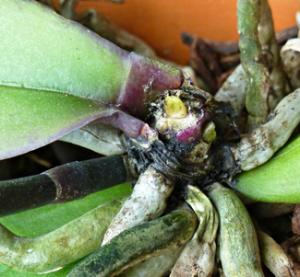 Image result for plagas dañen tus orquideas