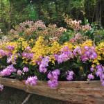Tus orquídeas no florecen?