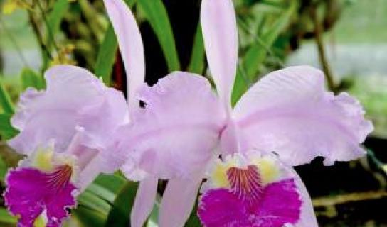 Orquídeas en las cimas de Cuba