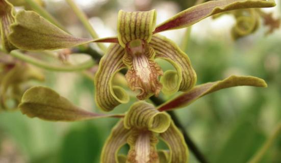 Dendrobium y el frío