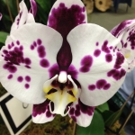 67th South Florida Orchid Society Expo – Fotos II