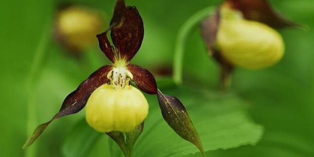 Vigilantes de orquídeas