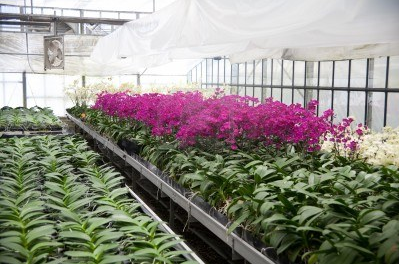 En Taiwán se producen orquídeas como iPhones