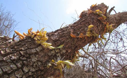 Antes de desaparecer miles de orquídeas fueron rescatadas