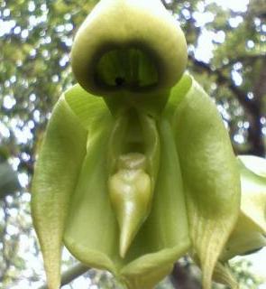 """""""Orquídea monje"""""""