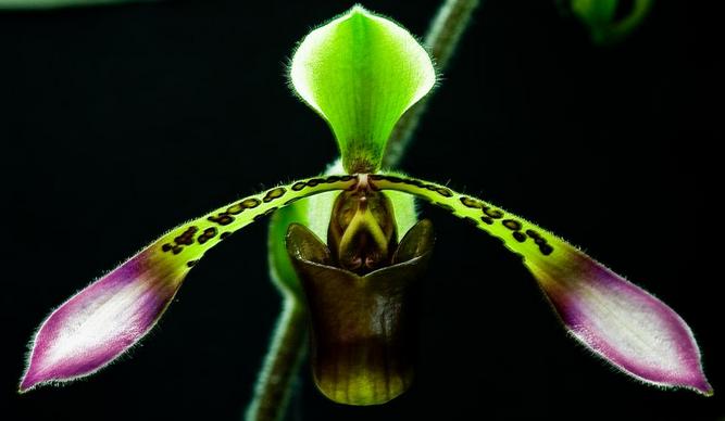 Paphiopedilum lowii