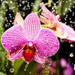Como debo regar mis orquídeas?