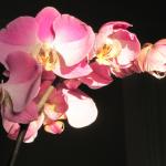 Cuanta luz necesitan tus orquídeas?