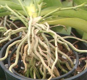 El medio de cultivo juega una parte muy importante en ambos casos; los medios orgánicos como musgos o cortezas guardan más humedad y se mantienen mojados o