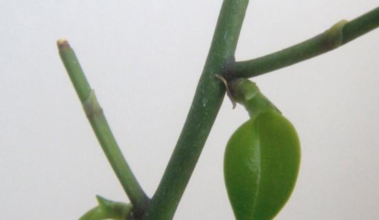 Cortar o no los tallos de tu Phalaenopsis?