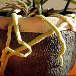 Orquídeas y raíces aéreas… Que hacer con ellas?