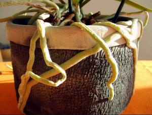 Phal raíces aéreas