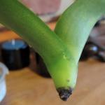 Tu orquídea perdió todas sus raíces? Este truco es para ti!!