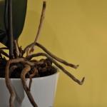 Como saber si es momento de trasplantar a tu orquídea?