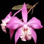 La flor de mayo, una de las orquídeas más carismáticas de México, en peligro de extinción