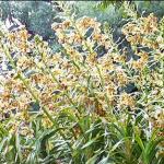 Brasil tiene la mayor orquídea del mundo