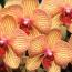 Phalaenopsis hybrids