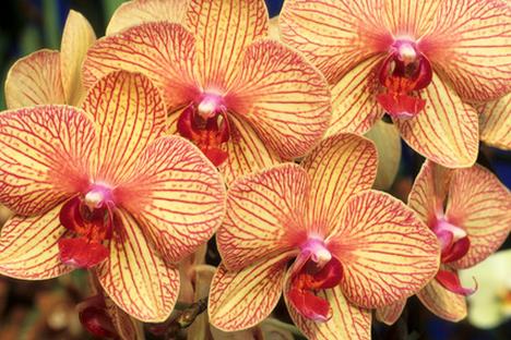 Phalaenopsis y sus híbridos
